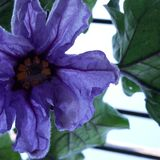 Fiołkowy kwiat Obrazy Stock