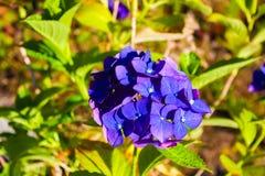 Fiołkowy kwiat fotografia royalty free
