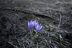 Fio?kowy kwiat obraz royalty free