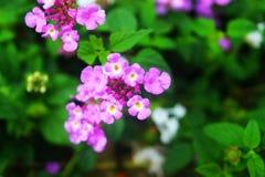 Fiołkowy kwiat Robi Perect zdjęcia stock