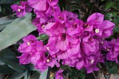 Fiołkowy kwiatostan Obrazy Royalty Free
