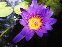Fiołkowy lotosowy kwiat Zdjęcie Royalty Free