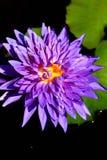 Fiołkowy lotosowy kwiat Obraz Royalty Free