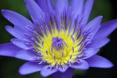 Fiołkowy lotosowy kwiat Zdjęcia Royalty Free