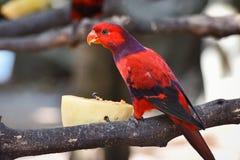Fiołkowy necked lory ptak Fotografia Royalty Free