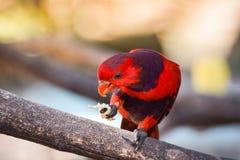 Fiołkowy necked lory ptak Obrazy Stock