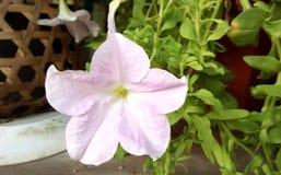 fiołkowy petuni lub petuni hybrida Fotografia Stock