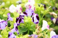Fiołkowy Torenia kwiat Fotografia Royalty Free