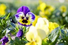 Fiołkowy wiosna kwiat 1 Obraz Stock