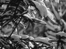 Fiocchi di neve dai rami di albero dell'abete Immagine Stock