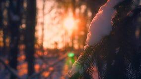 Fiocchi di neve del primo piano che cadono sui rami di albero dell'abete circondati da luce solare al tramonto archivi video