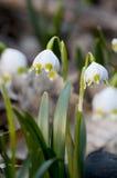 Fiocchi di neve della primavera Immagini Stock Libere da Diritti
