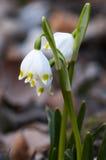 Fiocchi di neve della primavera Fotografia Stock