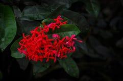 Fiocchi di neve rossi Fotografia Stock