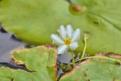 Fiocco di neve dell'acqua, Nymphoides indica una pianta acquatica fotografia stock libera da diritti