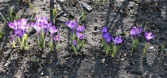 Fiołkowi kwiaty krokus w ogródzie Zdjęcie Stock