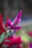 Fiołkowy celozi Argentea kwiat Zdjęcia Stock