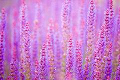 fioletowa mędrców tło Zdjęcia Stock