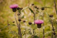 fioletowe kwiaty łąkowego Wiosny lub lata czas Obraz Stock