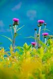 fioletowe kwiaty łąkowego Wiosny lub lata czas Zdjęcie Stock