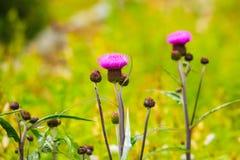 fioletowe kwiaty łąkowego Wiosny lub lata czas Zdjęcia Stock