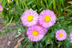 fioletowe kwiaty Zdjęcia Royalty Free