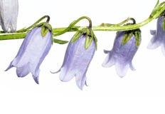 fioletowe kwiaty Zdjęcie Royalty Free