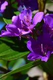 fioletowe kwiaty Zdjęcie Stock