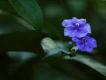 fioletowe kwiaty Obraz Royalty Free