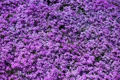 fioletowe kwiaty tło Zdjęcia Royalty Free
