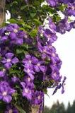 fioletowe kwiaty tło Obrazy Royalty Free