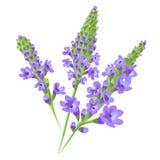 fioletowe kwiaty verbena wektor Obrazy Stock