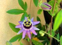 fioletowo - żółty kwiat Obrazy Royalty Free