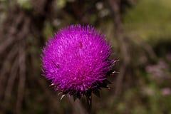 fioletowo - oset kwiat Zdjęcie Royalty Free