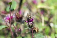 fioletowo - oset kwiat Zdjęcia Royalty Free
