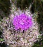 fioletowo - oset kwiat Obraz Royalty Free