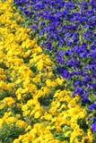 fioletowy kolor żółty Fotografia Royalty Free