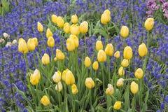 fioletowy kolor żółty Zdjęcia Royalty Free