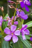 - fioletowy kwiat światło tropikalna Obrazy Royalty Free