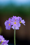 fioletowy kwiat Fotografia Stock