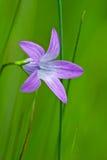 fioletowy kwiat fotografia royalty free