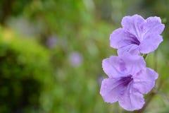 fioletowy kwiat Zdjęcie Royalty Free