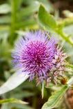fioletowy kwiat Obraz Stock