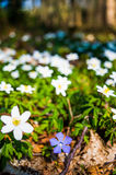 fioletowy kwiat Obrazy Stock