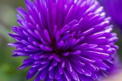 fioletowy kwiat Obraz Royalty Free