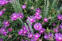 fioletowy kwiat Zdjęcia Royalty Free