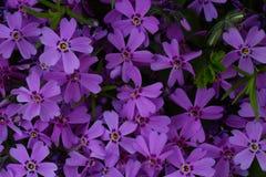 fioletowy kwiat E Ideał dla use w projekcie całkiem Obrazy Royalty Free