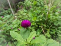fioletowy kwiat Guzika agaga wiecznotrwały Gomphrena kula ziemska amarant Perłowy wiecznotrwały Obraz Royalty Free