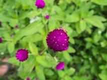 fioletowy kwiat Guzika agaga wiecznotrwały Gomphrena kula ziemska amarant Perłowy wiecznotrwały Zdjęcia Stock