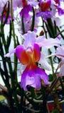 fioletowy kwiat Specjalna orchidea Costa rica krajowy kwiat obraz royalty free